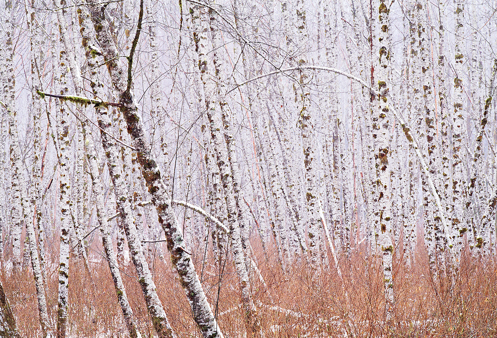 fog and snow in red alder forest, Mountain Loop Highway, North Cascades National Park, Washington State