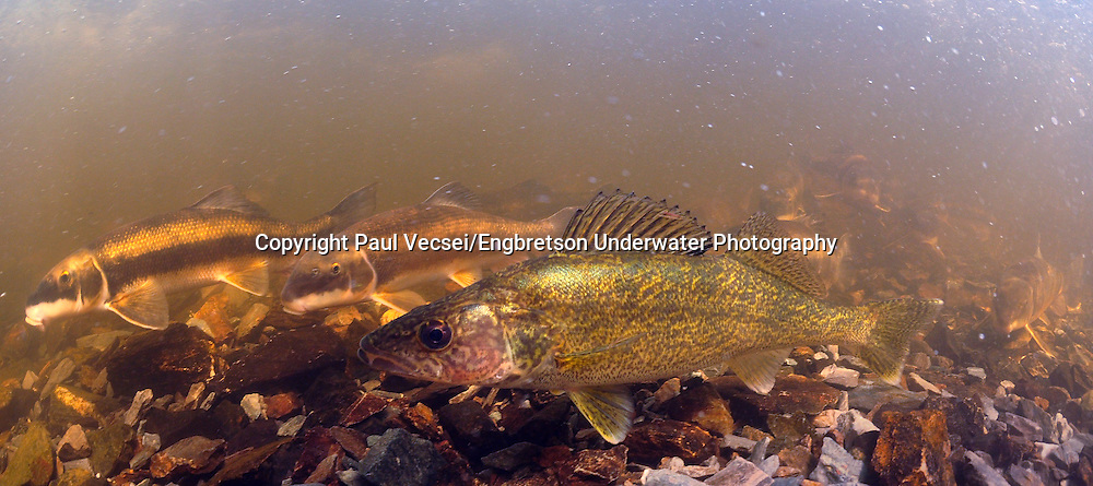 Walleye (with suckers)<br /> <br /> Paul Vecsei/Engbretson Underwater Photo