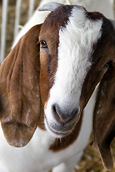 01 August 2014:   McLean County Fair. goats.