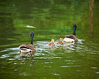 Canada Geese. Sourland Mountain Preserve. Image taken with a Nikon D300 camera and 18-200 mm VR lens.
