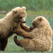 Alaskan Brown Bear (Ursus middendorffi) cubs playing. Alaskan Peninsula