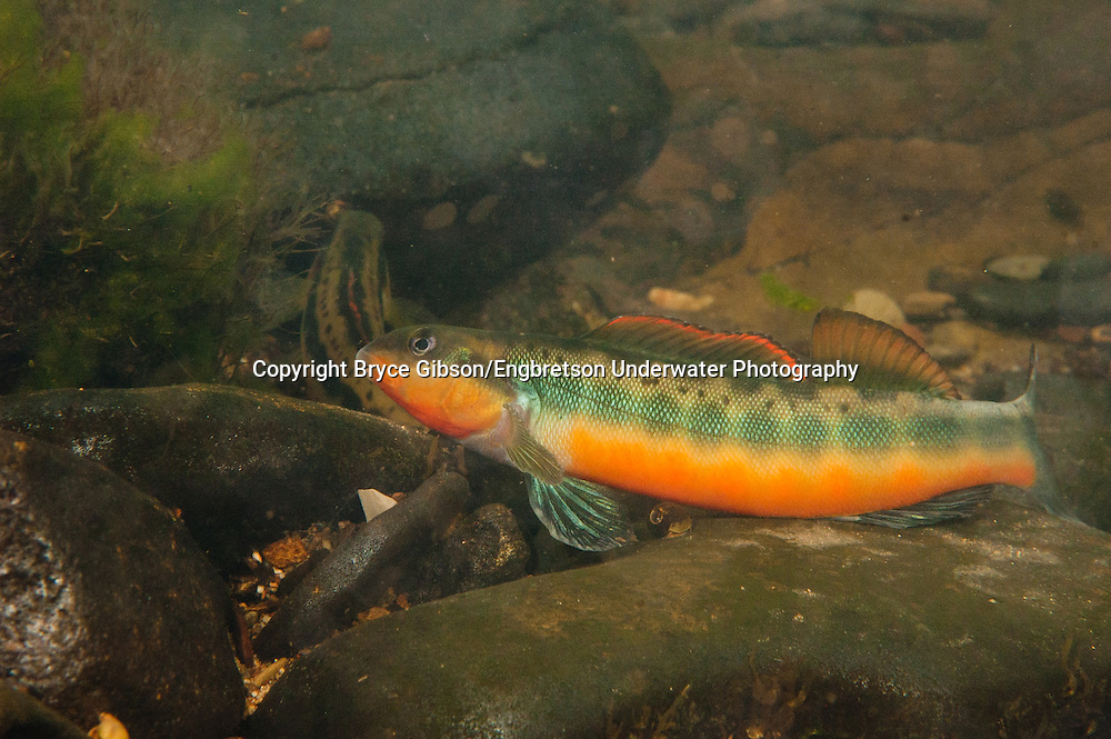 Tangerine Darter<br /> <br /> Bryce Gibson/Engbretson Underwater Photography