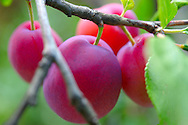 Victoria plums growing on a plum tree