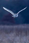 Barn owl (Tyto alba) in flight. Surrey, UK.