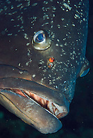 Dusky Grouper (Epinephelus marginatus) - 'endangered' in IUCN Red List - with several fish lice (parasitic copepods) above its mouth<br /> France: Corsica, Lavezzi Islands, Cala di Grecu