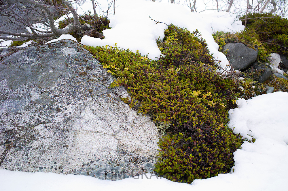 Lichen in the Arctic Circle on Ringvassoya Island in the region of Tromso, Northern Norway..