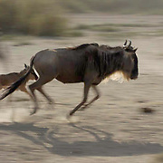 Wildebeest (Connochaetes taurinus) Mother with new born calf on the run during migration in Serengeti National Park. Tanzania. Africa. February.