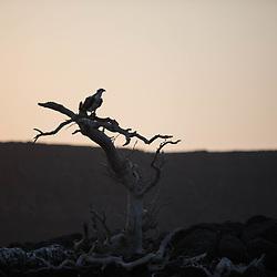 Djibouti, Golf de tadjourah, Tadjourah gulf, balbuzard pêcheur, Pandion haliaetus