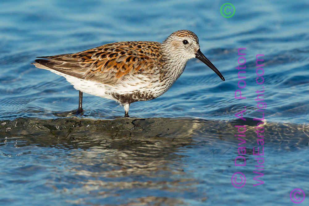 Dunlin wades shallow clear water at the edge of a bay looking for prey. Gulf Coast, Florida