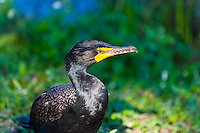 US, Florida, Everglades. Anhinga Trail Boardwalk. Double-crested Cormorant.