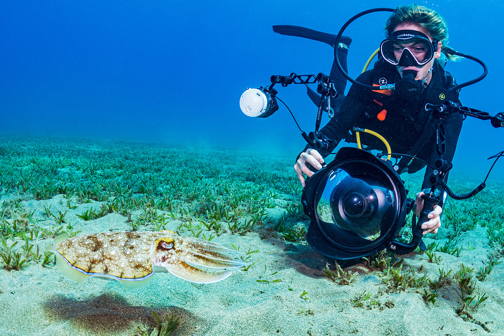 A hooded cuttlefish (Sepia prashadi) being photographed over a seagrass meadow in the Red Sea off Marsa Alam, Egypt.