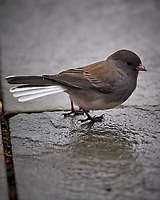 Dark-eyed (Slate colored) Junco? Image taken with a Nikon D5 camera and 600 mm f/4 VRII lens (ISO 900, 600 mm, f/4, 1/1250 sec).