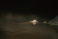 The head of a saltwater crocodile caught in the beam of a light at night..Menanggul River, Lower Kinabatangan Wildlife Sanctuary.