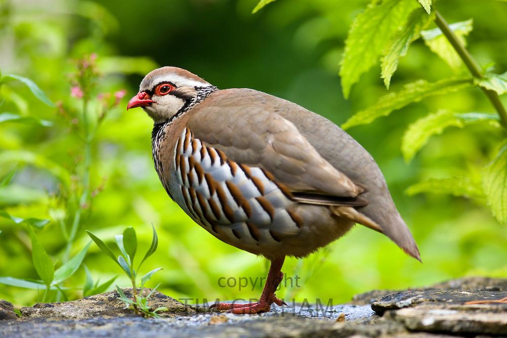 Red-legged French Partridge, UK