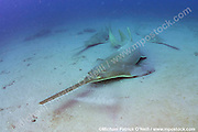 The critically endangered Small Tooth Sawfish, Pristis pectinata, gather offshore the Florida coastline on deep, silty reefs during winter. This species' population has declined by more than 95% due to the destruction and alternation of coastal habitats such as mangroves and the use of nets, which easily trap these giant fish. Historically ranging in the USA from the Carolinas to Texas, the species exists only in Florida nowadays, where it's protected and considered stable. Image available as a premium quality aluminum print ready to hang.