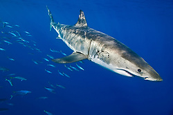 large female great white shark, Carcharodon carcharias, with mating bite scar, and schooling mackerel scad, Decapterus macarellus, off Guadalupe Island, Mexico, East Pacific Ocean