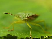 Green shieldbug (Palomena prasina), close up of face, Kent UK, stacked focus image