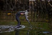 Venezuela_VEN, Venezuela...Regiao de Manguezal na Venezuela. Na um Bingua (Phalacrocorax brasilianus)...Mangrove region in Venezuela. In the photo a Bingua (Phalacrocorax brasilianus)...Foto: JOAO MARCOS ROSA / NITRO