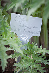 Metal plant label in ground by Artichoke 'Violetta di Chioggia'