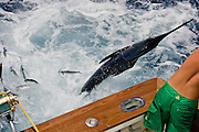 White Marlin with mal formed pec fin jumping next to dredge teaser.