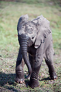 Young elephant calf walking through swamp with wet legs and trunk
