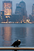 USA, NY, New York City, Pigeon at sunrise. Manhattan and the Hudson River in the background selective focus
