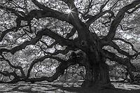 The Angel Oak on Johns Island, South Carolina USA