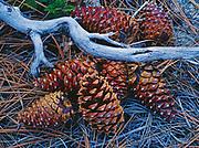 Ponerosa Pine cones, Pinus ponderosa, on the forest floor near Wawona, Yosemite National Park, California.