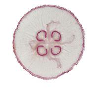 Moon Jellyfish - Aurelia aurita