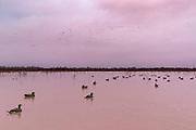 Canvasback ducks fly over a decoy spread on a Louisiana marsh.