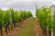 The vineyard with rows of wine and grass between the rows Chateau Bouscaut Cru Classe Cadaujac Graves Pessac Leognan Bordeaux Gironde Aquitaine France