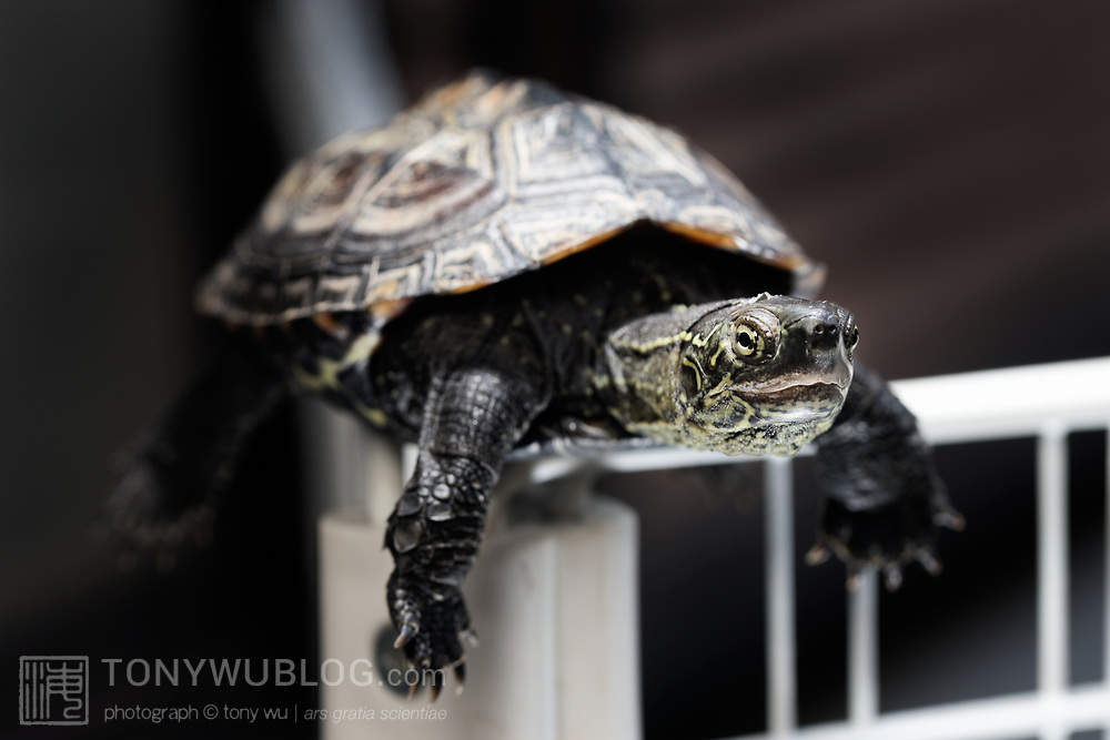 This is a 10cm two-year old Mauremys reevesii Chinese poind turtle that has climbed a 50cm tall fence to sit on the top corner. Once he figured out how to reach this spot; it became a favorite hangout