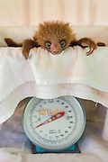 Hoffmann's Two-toed Sloth <br /> Choloepus hoffmanni<br /> Orphaned baby on scale<br /> Aviarios Sloth Sanctuary, Costa Rica<br /> *Rescued and in rehabilitation program