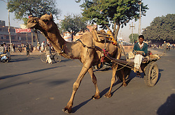 Camel pulling a cart through the streets of Jaipur; India,