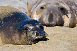 Picture of northern elephant seal pup and young adult male basking, Mirounga angustirostris, note black natal pelage characteristic of a newborn, Piedras Blancas, California, USA, East Pacific Ocean