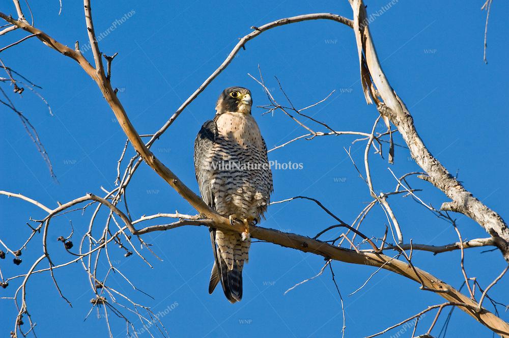 A Peregrine Falcon (Falco peregrinus) hunting from a high perch in Tucson, Arizona