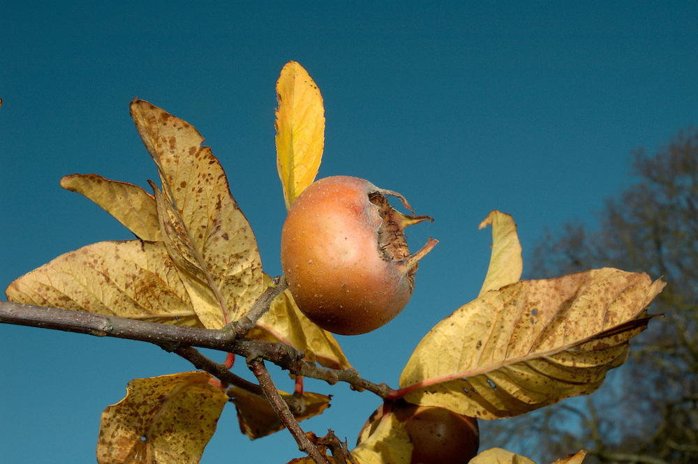 Medlar Mespilus germanica (Rosaceae) HEIGHT to 9m <br /> Sometimes a small, rounded tree, or often a spreading and untidy shrub. BARK Greyish-brown, in old trees breaking into oblong plates with deep fissures. BRANCHES Young shoots are densely hairy. LEAVES To 15cm long, lanceolate to ovate with entire or sometimes very finely toothed margins and deep veins; often a yellowish-green colour and almost shiny above, with dense white hairs on the underside. REPRODUCTIVE PARTS Solitary white flowers are up to 6cm across, with sepals longer than the petals and about 40 red anthers. The curious fruit is about 3cm long, divided into 5 carpels, with a brown russet-like skin and a sunken apex. It is edible, but not until it has started to rot, when it can be used in preserves. STATUS AND DISTRIBUTION Native of the woodlands of SE Europe and Asia Minor, but has been in cultivation elsewhere for a long time. Usually found in old gardens, but is also naturalised in some woodlands.