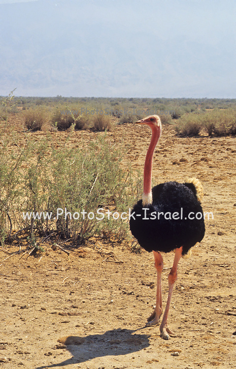 Ostrich in the wild. Photographed at the Yotveta Hai-Bar wildlife acclamation centre