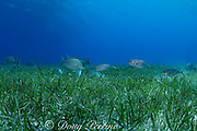 seagrass bed of mixed turtle grass, Thalassia testudinum<br /> and manatee grass, Syringodium filiforme is a foraging area for<br /> barjacks, Caranx ruber, and hogfish, Lachnolaimus maximus,<br /> Lighthouse Reef Atoll, Belize, Central America ( Caribbean Sea )
