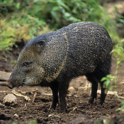 Chacoan Peccary, (Catagonus wagneri) South America. Endangered Species. Captive Animal.