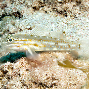 Sand-Canyon Goby inhabit deep clearwater areas of sand and rubble around reefs, often in areas of current in Tropical West Atlantic; picture taken Little Cayman.