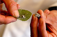 Doctor Jorge Hurtado, psychotherapist and founder of coca museum, use , as an harm recuction method, the coca leaf for to teach of the drigs addicts. the traditional slow way to chew. He's practice as like as many people in Bolivia, the using to put a piece of lime for to liberate quickly the effects of coca leaf