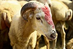 September 1, 2017 - Azerbaijan - Sheep for sacrifice on the Muslim feast of Eid al-Adha, also known as the Feast of the Sacrifice. (Credit Image: © Aziz Karimov/Pacific Press via ZUMA Wire)