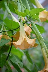 Brugmansia × candida 'Grand Marnier' AGM syn. Brugmansia versicolor 'Grand Marnier', Brugmansia aurea 'Grand Marnier', Datura versicolor 'Grand Marnier' - Angel's trumpet