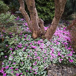Cyclamen coum growing on the rockery in John Massey's garden at Ashwood Nurseries in spring.