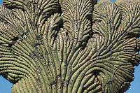 Cristate or crested saguaro, Carnegiea gigantea. Saguaro National Park, Arizona