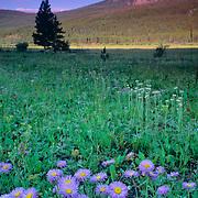 Purple asters in a Colorado meadow