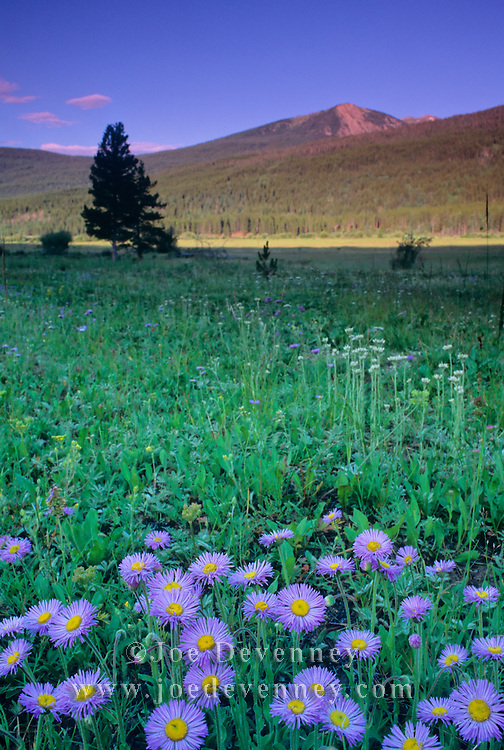 Purple asters in a Colorado meadow