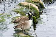 Canada geese (Branta canadensis), Walthamstow Wetlands, London E17, UK © Rudolf Abraham