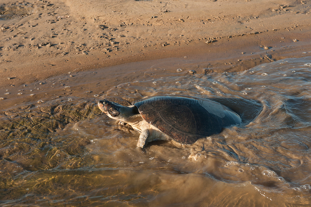 Giant River Turtle (Podocnemis expansa) after laying eggs and ID marked returns to river. CAPTIVE-REARING PROGRAM FOR REINTRODUCTION TO THE WILD<br /> CITES II      IUCN ENDANGERED (EN)<br /> Playita Beach, (mid) Orinoco River, 110 Km north of Puerto Ayacucho. Apure Province, VENEZUELA. South America. <br /> L average 90cm, Wgt 30-45kg. Largest fresh water river turtle in South America. Eggs round & 42mm. 90-100 per clutch. 6-8 weeks incubation.<br /> (This female measured:69cm curved carapace length & weighed:31kg and layed 121 eggs) Females come ashore to sun themselves for several days before laying to boost egg development.  They lay when the river is at its lowest. Herbacious and live in white or black water rivers moving into flooded forests of the Amazon during the wet season to feed on fallen seeds and fruit.<br /> RANGE: Amazonia, Llanos & Orinoco of Colombia, Venezuela, Brazil, Guianas, Ecuador, Peru & Bolivia.<br /> Project from Base Camp of the Protected area of the Giant River Turtle (& Podocnemis unifilis). (Refugio de Fauna Silvestre, Zona Protectora de Tortuga Arrau, RFSZPTA)<br /> Min. of Environment Camp which works in conjuction with the National Guard (Guardia Nacional) who help enforce wildlife laws and offer security to camp. From here the ministery co-ordinate with other local communities along the river to hand-rear turtles for the first year of their life and then release them. They pay a salary to a person in each community that participates in the project as well as providing all food etc. The turtles are protected by law and there is a ban on the use of fishing nets in the general area. During egg laying season staff sleep on the nesting beaches to monitor the nests.  All nests layed on low lying ground are relocated to an area not likely to flood. They are then surrounded by a net to catch all hatchlings who will then spend the first year of their life in captivity to increase their chances of survival.